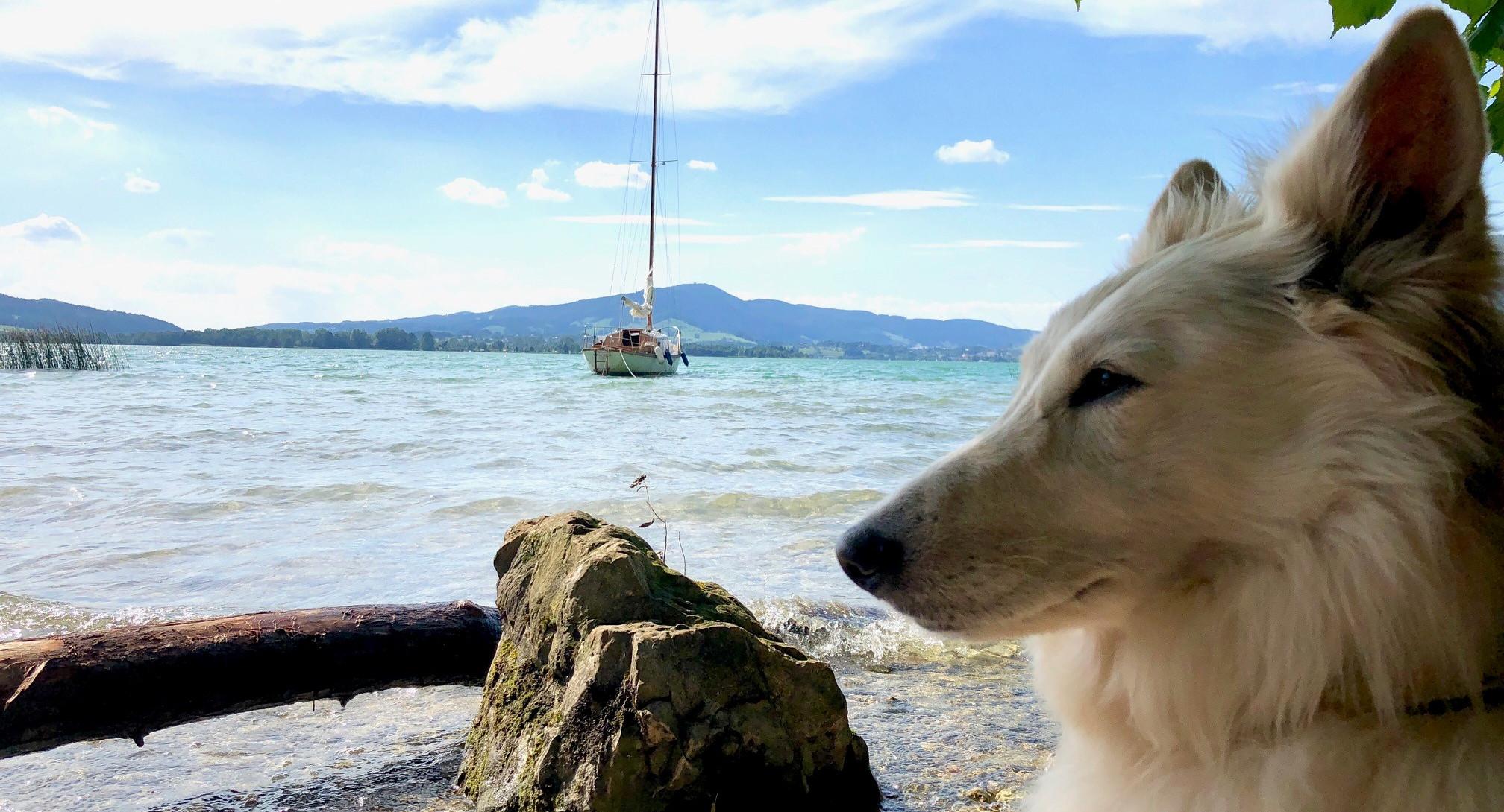 Ein weißer Hund am Seeufer im Urlaub mit Hund im Salzkammergut